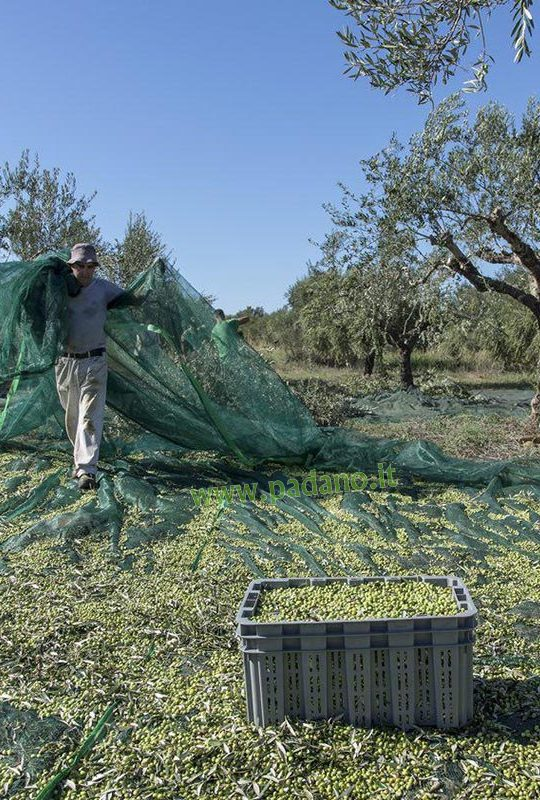 Olive gr
